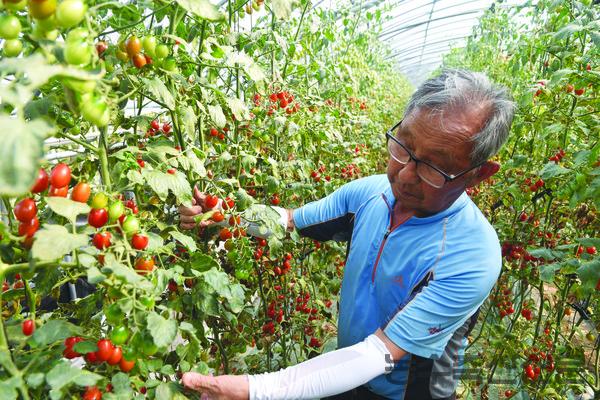 방울토마토의 경우 대부분 개인농가가 수확 후 농협 계통으로 출하한다.