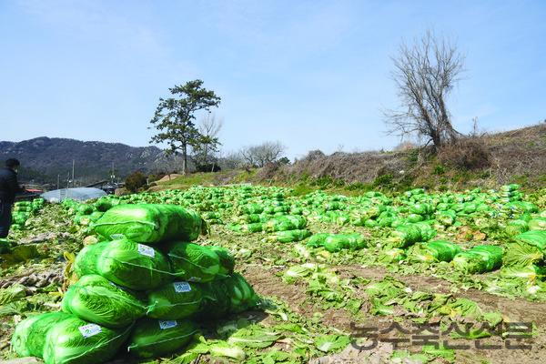배추는 대부분 산지유통인이 재배, 유통하고 있으며 품위와 가격에 따라 수확 후 바로 출하되거나 저온저장고에 보관 뒤 유통되는 형태다.